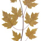 As causas de folhas amareladas na planta jade