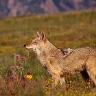 Cómo alejar a los coyotes de una propiedad
