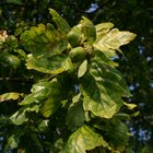 Why Do Oak Trees Drop Immature Acorns in the Summer?