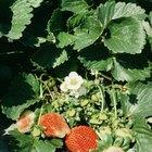 Partes de una planta de fresa