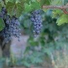 Quanto tempo demora para uma videira produzir uvas?