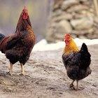 Como impedir que um galo puxe as penas das galinhas