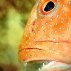 ¿Con qué frecuencia se aparean los peces cíclidos joya