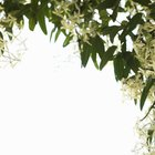 How to Identify Clematis Leaves
