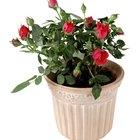 Mini rosas que podem ser cultivadas dentro de casa