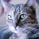 Signs of Arthritis in Cats