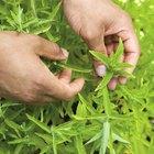 ¿Las plantas de albahaca toleran el invierno?