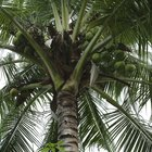 How to Care for a Coconut Palm Houseplant