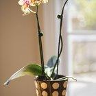 Problemas de mofo em orquídeas