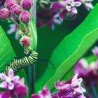 Tipos de lagartas com listras pretas e brancas