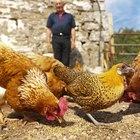 Qué no deben comer los pollos de mascota