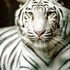 Creencias coreanas sobre el tigre