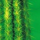 Cómo clonar un cactus San Pedro