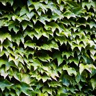 Insects That Eat Ivy Plant Leaves