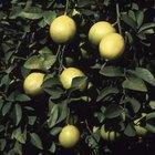Cómo criar a un árbol de limón Eureka