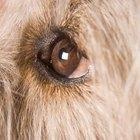 ¿Qué hacer cuando un perro tiene un ojo rasguñado?