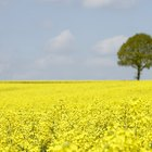 The Side Effects of Rapeseed Oil