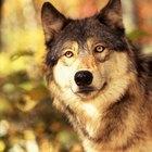 As diferenças entre olhos humanos e os de lobos