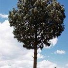 Como calcular a altura de uma árvore utilizando seno e cosseno