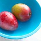 ¿Pueden los árboles de mango manejar temperaturas frías?