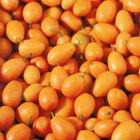 Como plantar sementes de laranjinhas Kinkan
