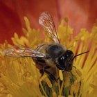 Cómo recolectar y almacenar polen de abeja
