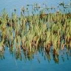Nombres de pastos altos que crecen alrededor de lagos