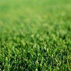 Quanto tempo leva até a nova grama crescer?