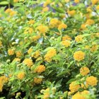 Plant tall marigolds along the north edge of the garden and shorter varieties between the rows of radishes.