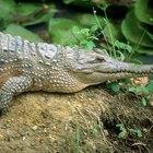 ¿Por qué son tan valiosas las pieles de los cocodrilos?