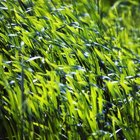 Can you walk on newly laid grass seed?
