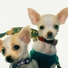 Can Chihuahua Puppies Have Adult Canned Food With Their Dry Puppy Food?