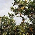 Cómo lograr que un limonero dé frutos