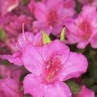 Azaleas que florecen varias veces por año