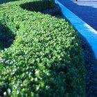 Como podar o Podocarpus