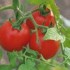 ¿Qué tipos de tomates son determinados?