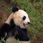 Las organizaciones que protegen al panda gigante