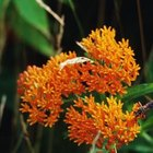Butterfly weed lives up to its name when it comes to attracting wildlife.