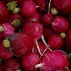 Tipos de rábanos para cultivar