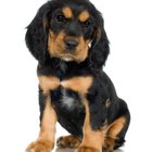 Why do some rottweilers have white spots on the chest?