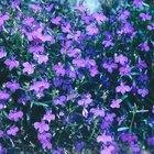 Cómo cultivar lobelia erinus