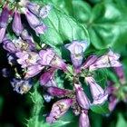 What Makes a Foxglove Plant Poisonous?