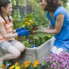 When to plant marigolds?