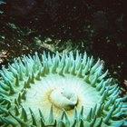 ¿Qué comen las anémonas marinas?