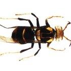 Predadores de vespas e abelhas