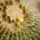 ¿En qué momento florecen los cactus?