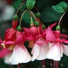How to Get Fuchsia Seeds