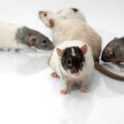 Cómo hacer cebo de ratas casero para trampas