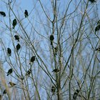 How to get rid of black birds naturally