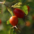 Arbustos con pequeños frutos similares a la manzana